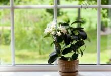 gardenia flowers1