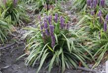 liriopegrass