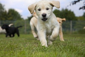 Labrador Golden retriever cross puppy on grass running.