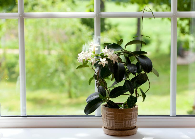 Add an Exquisite Beauty to Your Home – How to Care for Fragrant Gardenias